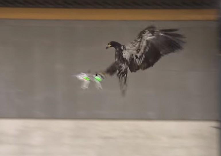 Голландская полиция тренирует орлов для перехвата дронов-нарушителей