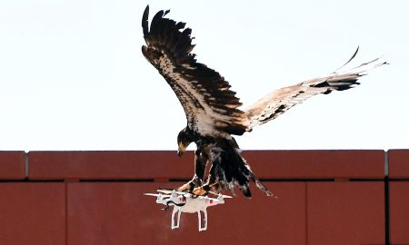 «Низкотехнологичное решение высокотехнологичной проблемы»: в Нидерландах полиция тренирует орлов для ловли дронов [видео]