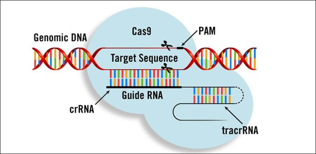 Исследование: метод редактирования геномов CRISPR/Cas9 опасен и может вызвать повреждение ДНК