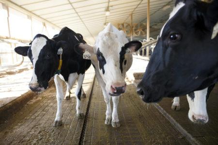 Американские инженеры подключили британских коров к 5G