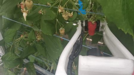 Инженеры Fieldwork Robotics представили робосборщика малины